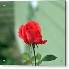 Pink Rose Acrylic Print by Larry Stolle