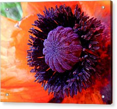 Poppy Acrylic Print by Rona Black