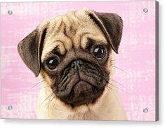 Pug Portrait Acrylic Print by Greg Cuddiford