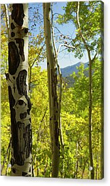 Quaking Aspen In Full Color Showing Acrylic Print by Maresa Pryor