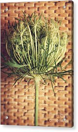Queen Anne's Lace Acrylic Print by HD Connelly