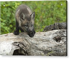 Red Fox Kit Acrylic Print by Sandra Bronstein