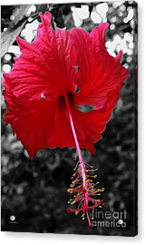 Red Hibiscus Acrylic Print by Cheryl Young