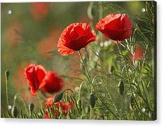 Red Poppy _papaver Rhoeas__ Upper Rhine Acrylic Print by Carl Bruemmer