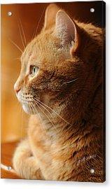 Red Tabby Cat Acrylic Print by Renee Forth-Fukumoto