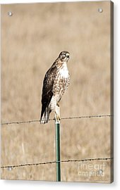 Red Tail Stare Acrylic Print by Mike Dawson
