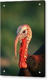 Rio Grande Wild Turkey (meleagris Acrylic Print by Richard and Susan Day