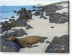 Sea Lion Sleeping On Beach Acrylic Print by Sami Sarkis