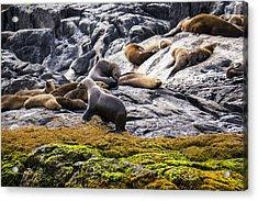 Seals - Montague Island - Australia Acrylic Print by Steven Ralser