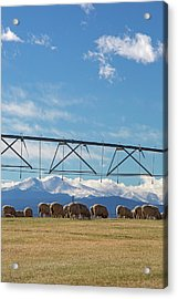 Sheep Grazing Under An Irrigation Boom Acrylic Print by Jim West