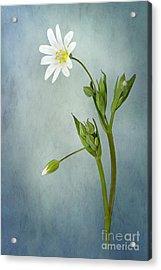 Simply Stitchwort Acrylic Print by Jacky Parker