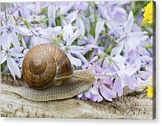 Snail Acrylic Print by Jaroslaw Grudzinski