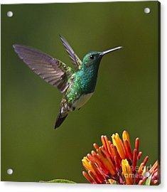 Snowy-bellied Hummingbird Acrylic Print by Heiko Koehrer-Wagner