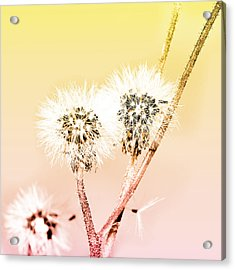 Spring Dandelion Acrylic Print by Toppart Sweden