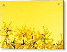 Spring Yellow Forsythia  Acrylic Print by Elena Elisseeva