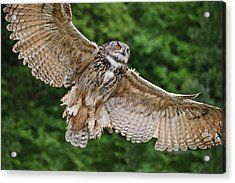 Stunning European Eagle Owl In Flight Acrylic Print by Matthew Gibson