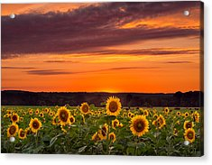 Sunset Over Sunflowers Acrylic Print by Michael Blanchette