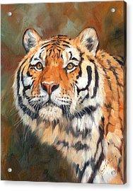 Tiger Acrylic Print by David Stribbling