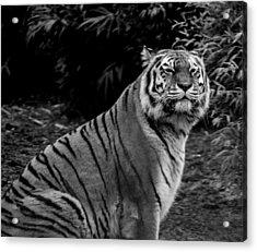 Tiger Portrait Acrylic Print by Martin Newman
