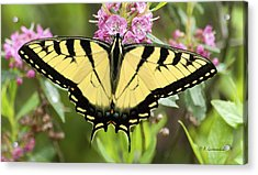 Acrylic Print featuring the photograph Tiger Swallowtail Butterfly On Milkweed Flowers by A Gurmankin