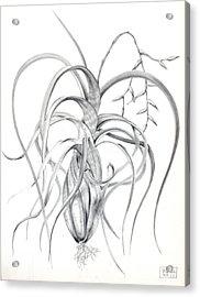 Tillandsia Flexuosa Acrylic Print by Penrith Goff