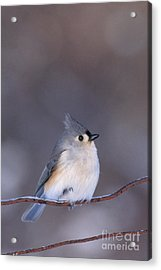 Tufted Titmouse Acrylic Print by Larry West