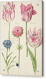 Tulips Acrylic Print by Nicolas Robert