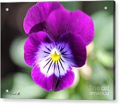Viola Named Sorbet Plum Velvet Jump-up Acrylic Print by J McCombie