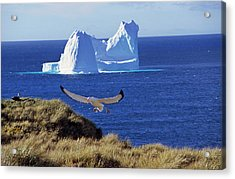 Wandering Albatross (diomendea Exulans Acrylic Print by Martin Zwick