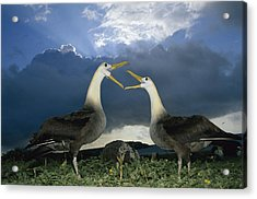 Waved Albatross Courtship Dance Acrylic Print by Tui De Roy