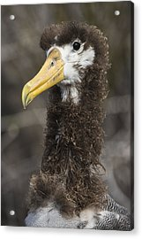 Waved Albatross Molting Juvenile Acrylic Print by Pete Oxford