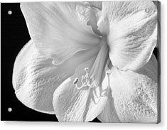 White Amaryllis Acrylic Print by Adam Romanowicz