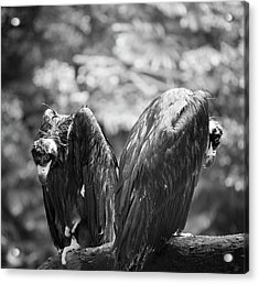 White-backed Vultures In The Rain Acrylic Print by Pan Xunbin