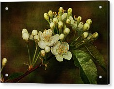 White Blossoms Acrylic Print by Cindi Ressler