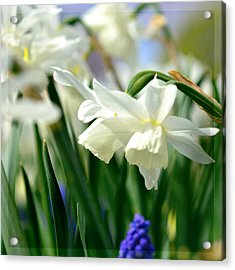 White Daffodil  Acrylic Print by Toppart Sweden
