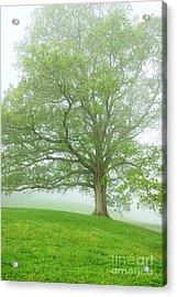 White Oak Tree In Fog Acrylic Print by Thomas R Fletcher