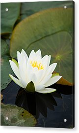 White Water Lily Acrylic Print by Matt Dobson