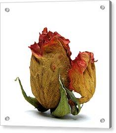 Wilted Rose Acrylic Print by Bernard Jaubert