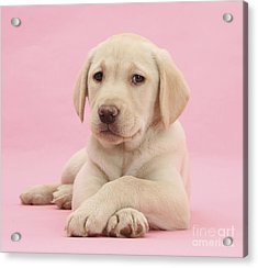 Yellow Labrador Retriever Acrylic Print by Mark Taylor