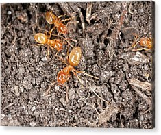 Yellow Meadow Ants Acrylic Print by Bob Gibbons