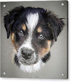 Border Collie Dog Portrait Acrylic Print by Olde Time  Mercantile