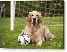 Golden Retriever Dog Acrylic Print by John Daniels