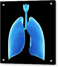Human Lungs Acrylic Print by Sebastian Kaulitzki