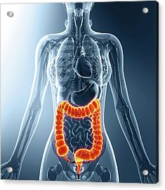 Human Digestive System Acrylic Print by Pixologicstudio