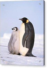 Emperor Penguin Aptenodytes Forsteri Acrylic Print by Hans Reinhard