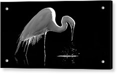 Great Egret Acrylic Print by Bill Martin