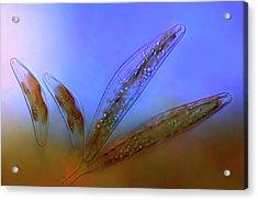 Diatoms Acrylic Print by Marek Mis