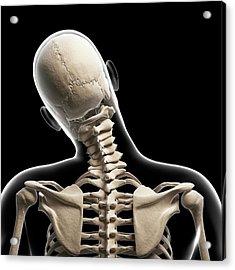 Human Skull And Neck Bones Acrylic Print by Sebastian Kaulitzki