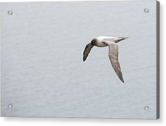 A Light Mantled Albatross Acrylic Print by Ashley Cooper