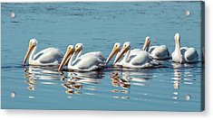 American White Pelicans Acrylic Print by Bob Gibbons